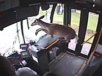 凄い衝撃。バスのフロントガラスを突き破った鹿さんの映像。