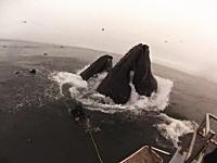 ザトウクジラの捕食シーンに近づきすぎて食われかけたダイバーさんたちの映像