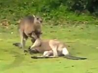 カンガルーが対戦相手の首をきめて締め落とす姿が観光客により撮影される。