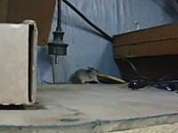大きなクラッカーを手に入れたネズミさんが巣に持ち帰ろうと頑張りまくってる