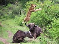 油断していたライオンがバッファローの頭突きで宙を舞う映像が3000万ヒット。