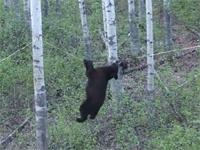 クマの運動能力、恐るべし!クマの獲物に対する執着心強し!