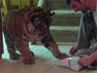 これネコだわ。トラもやっぱり「掃除機」を怖がるww!