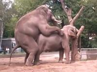 動物園で目撃された象のカップルの交尾にギャルたち大興奮。巨大ペニスに大喜び