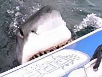 これ大ピンチやろ。ホホジロザメにゴムボートをかじられた動画。リアルジョーズかよ。