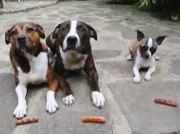 ちっこい犬めちゃワロタwwwこのワンコ3匹で「待て」動画がワロタww