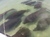 これはテンションあがる。ビーチでマナティーの群れに遭遇した動画。ミニワンコも興味津々?