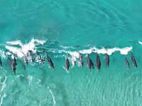 波に乗って遊ぶイルカさんたちを上空から撮影したビデオ