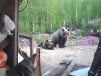 この直後に撮影者たちは熊に襲われた・・・。小熊を撮影していたら母親登場で・・・。