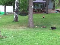 黒猫に襲われたリスのスピード。必死なリスはええ!追いかけるネコもはええ!