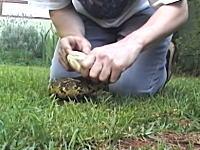 毒蛇に噛まれてしまった人はこうなる動画。これは壊死しているの?