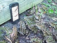 カエル入れ食いwwwスマートフォンの中で動くご馳走に興味津々なカエルたち。