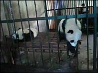 パンダにお薬を飲ませるのはこんなにも大変wというかカワイイすぎ動画が人気