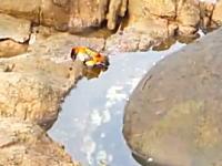 タコは水中以外でも狩りをする。水際のカニにジャンプして襲い掛かるタコ。