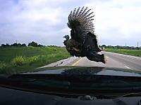 高画質なドライブレコーダーで見る七面鳥がフロントガラスに衝突する瞬間。