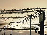 なんか凄い動画。送電線に集まるムクドリの群れを高速度カメラで特殊撮影してみた。