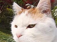 今日のほのぼのゲコゲコ動画。自分の頭の上で鳴いているカエルに気付かないニャンコ。