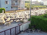 俺んちの垣根を食うなw羊の大移動で住宅街を通ったもんだから・・・。働くワンコ。