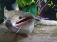 驚くほど大きな獲物を丸飲みしたナマズさんのお腹がヤバい事になる動画。